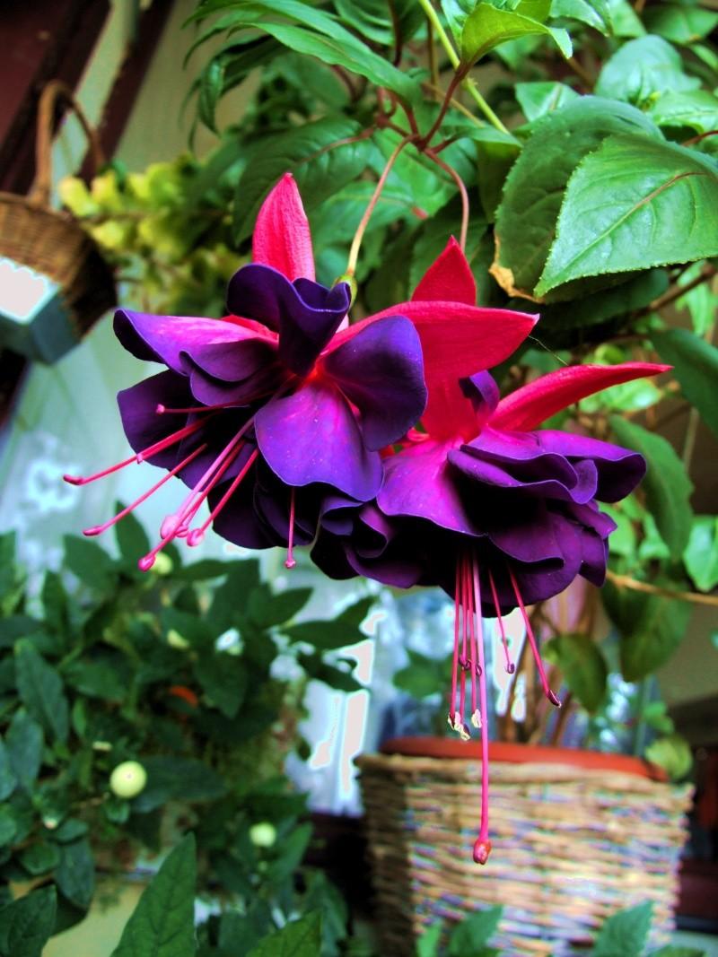 Fuchsia - espèces et variétés frileuses Dscf3711
