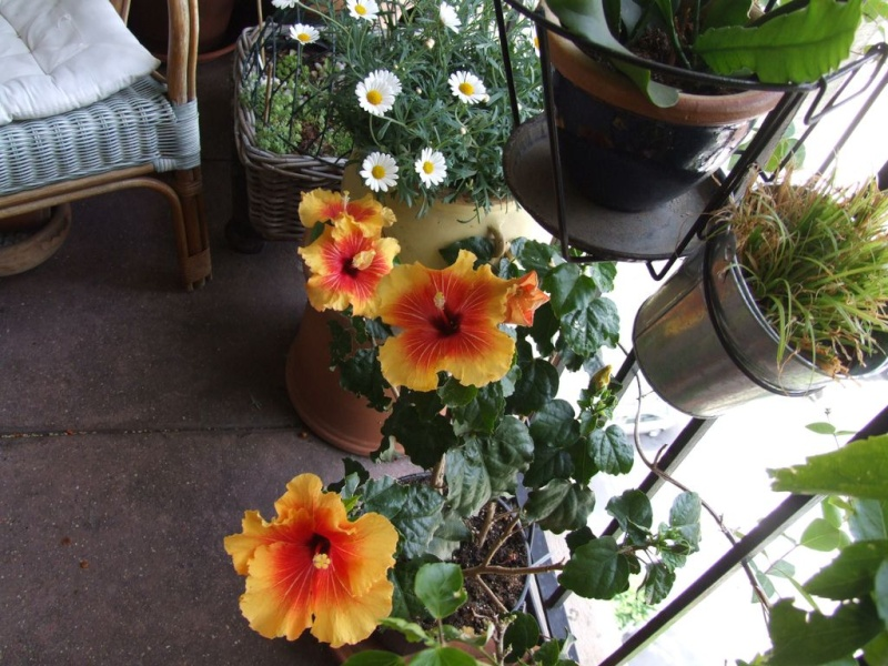 Hibiscus rosa-sinensis et hybrides - conseils Hibisc15