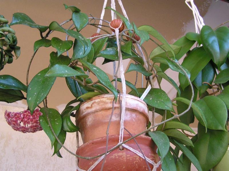 Mami et Bidou : Hoya pubicalyx : 1ere floraison et la suite Pubica10
