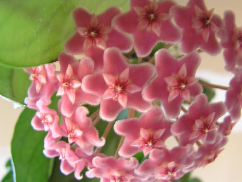 Mami et Bidou : Hoya pubicalyx : 1ere floraison et la suite Pubica11