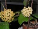 Hoya crassicaulis Crassi15