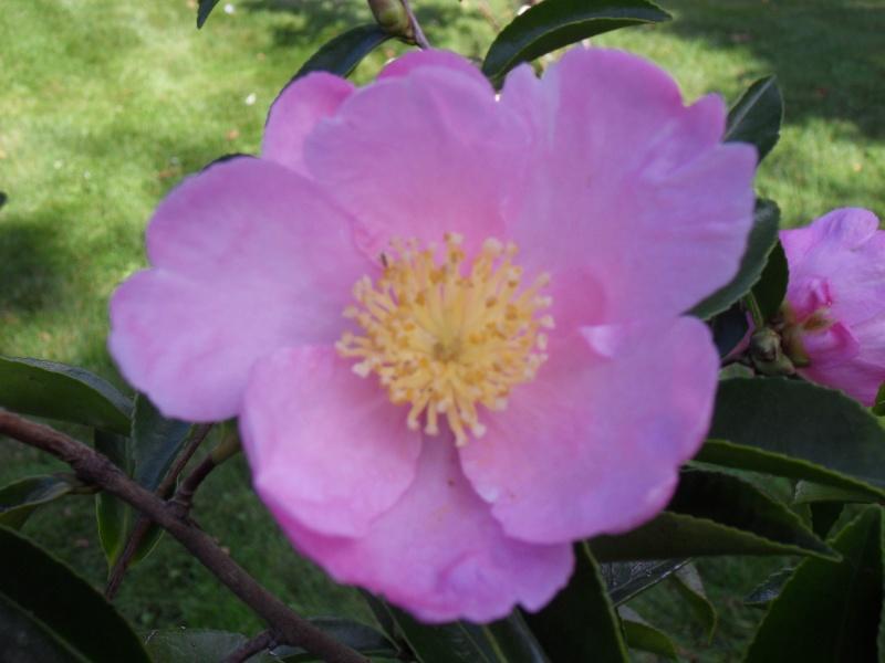 Camellia sasanqua 'Plantation Pink' 52-sdc10