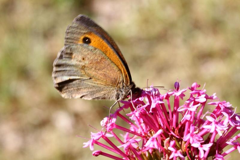 macro insectes, papillon Img_3110
