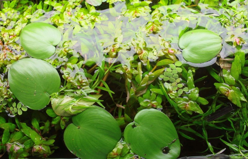 Fleur d'Heteranthera zosterifolia Img_4212