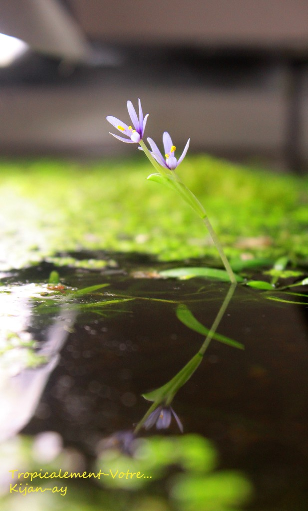 Fleur d'Heteranthera zosterifolia Img_4814