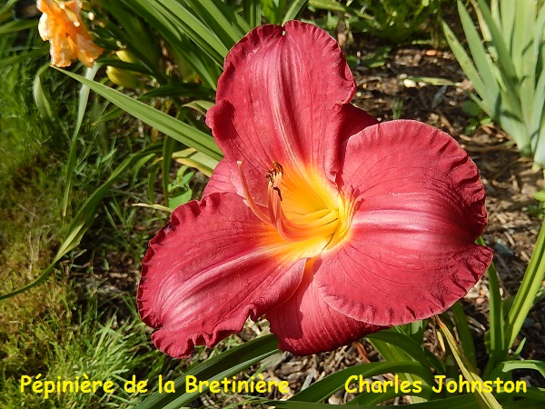 Bande hémérocalles/iris Charle10