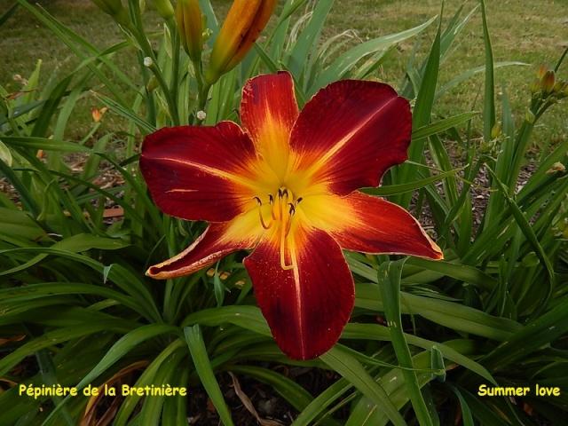 Bande hémérocalles/iris Dscn0115