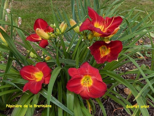 Bande hémérocalles/iris Dscn0116
