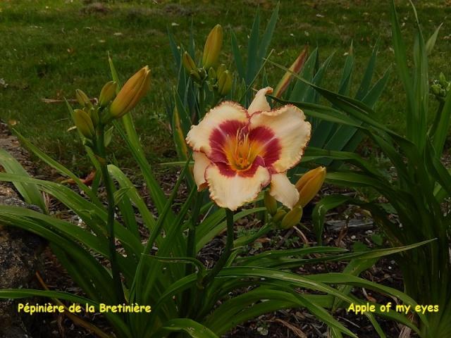 Bande hémérocalles/iris Dscn0120