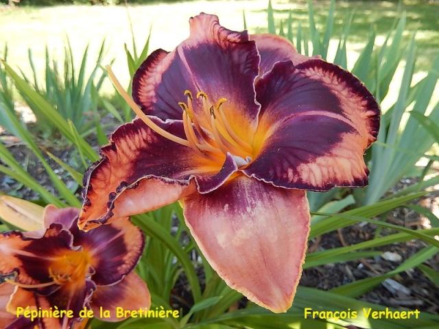 Bande hémérocalles/iris Franao10
