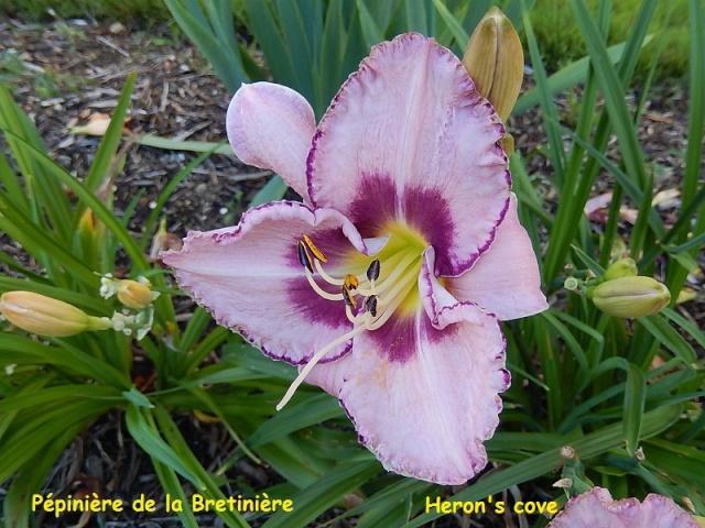 Bande hémérocalles/iris Heron_10