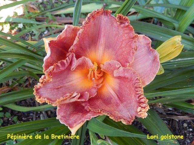 Bande hémérocalles/iris Lori_g10