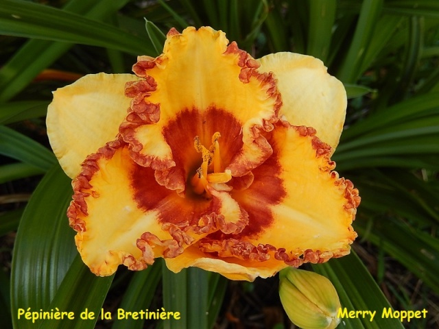 Bande hémérocalles/iris Merry_10