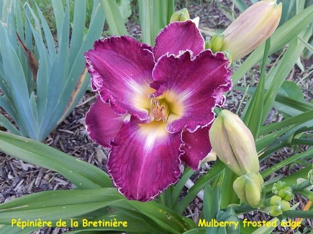 Bande hémérocalles/iris Mulber11