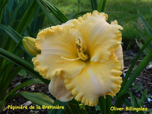 Bande hémérocalles/iris Oliver10