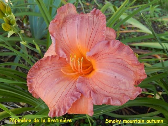 Bande hémérocalles/iris Smoky_10