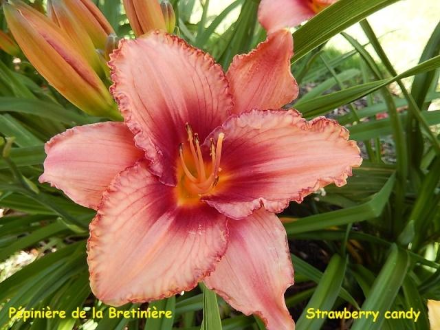Bande hémérocalles/iris Strawb12