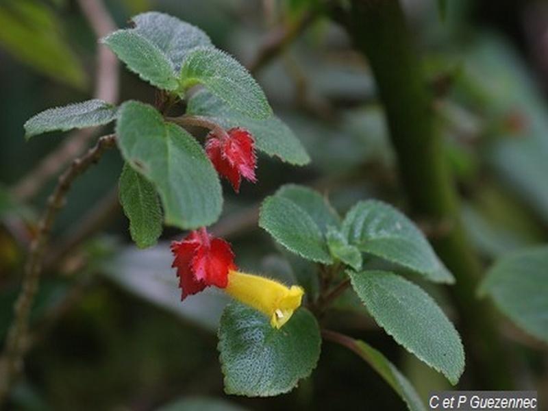 une fleur à découvrir par blucat (21juillet)trouvée par ajonc - Page 4 Alople10
