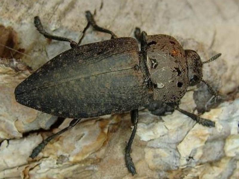 un insecte à découvrir ; blucat (31juillet)trouvé par martine Capnod11