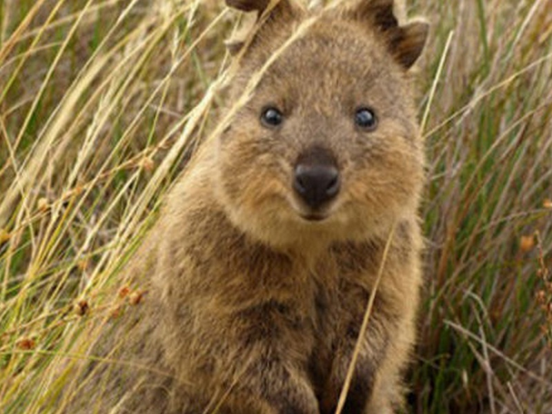un animal à découvrir par blucat (19juillet)trouvé par ajonc Quokka11
