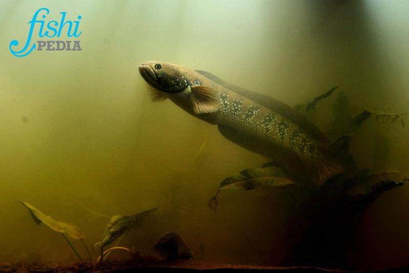 Fishipédia, encyclopédie d'aquariophilie par l'image - Page 5 Channa10