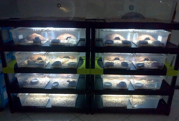 Geckos...! 10678610