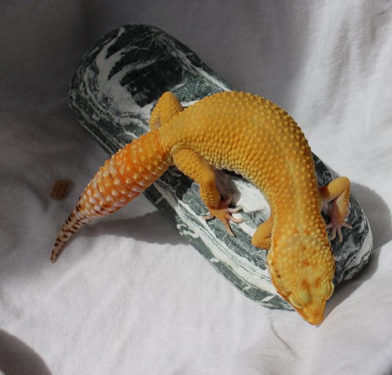 Geckos...! 111