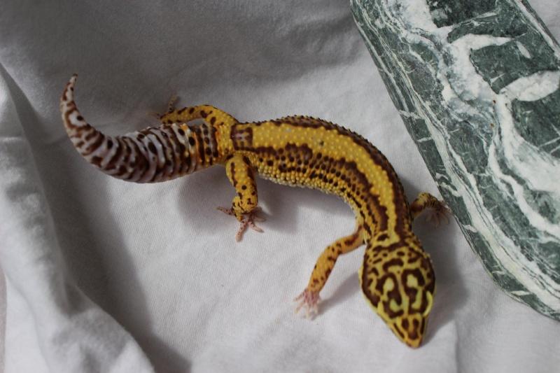 Geckos...! 1310