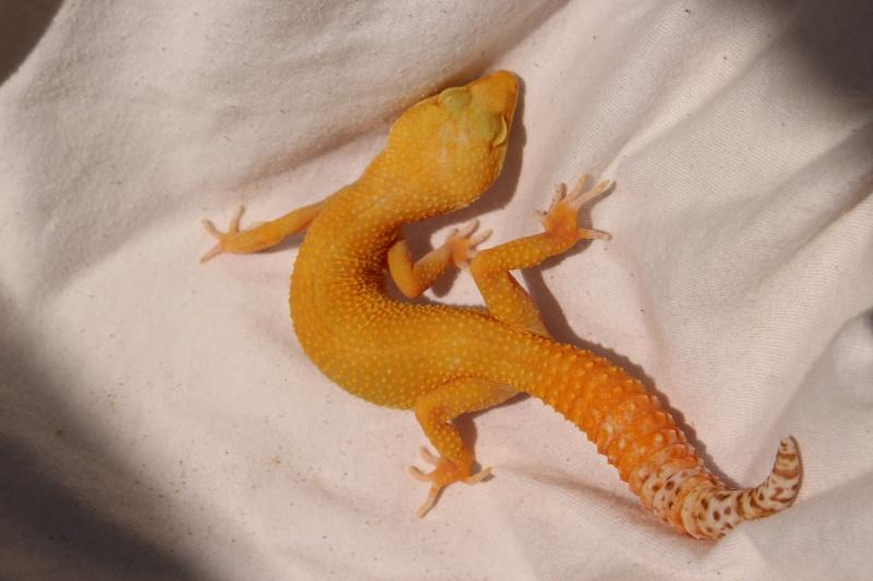 Geckos...! 1910