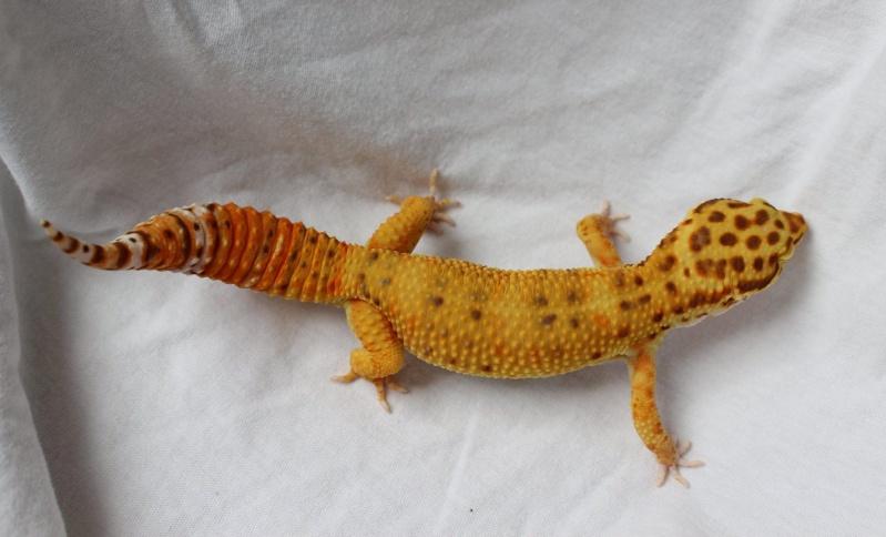 Geckos...! 2510