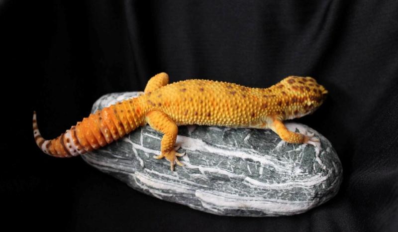 Geckos...! 310