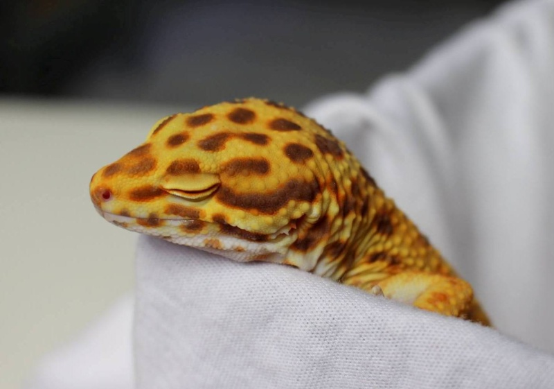 Geckos...! 3410