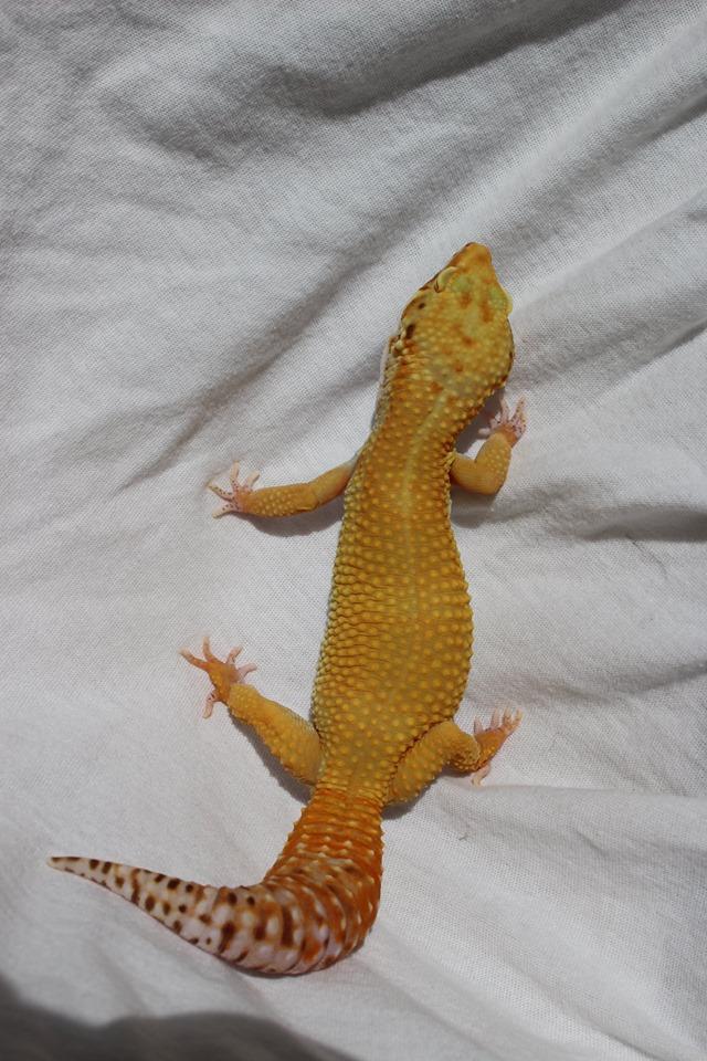 Geckos...! 411