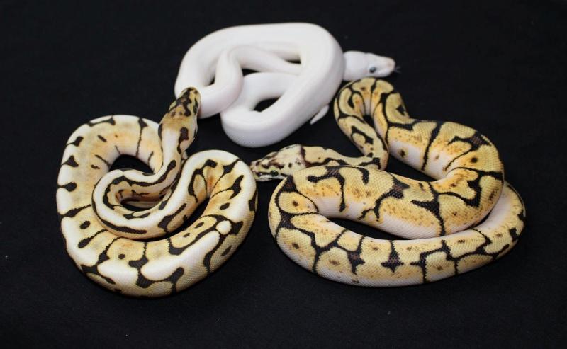 Quelques Snakes... Regius10