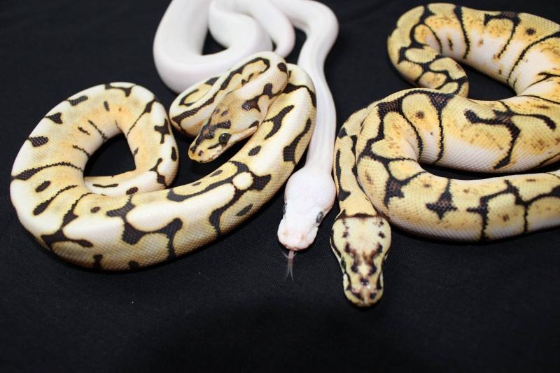 Quelques Snakes... Regius11