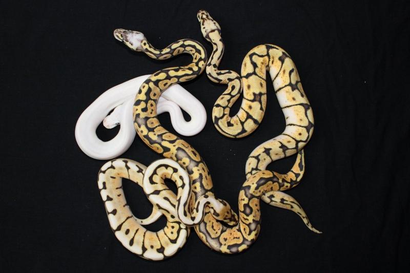 Quelques Snakes... Regius12