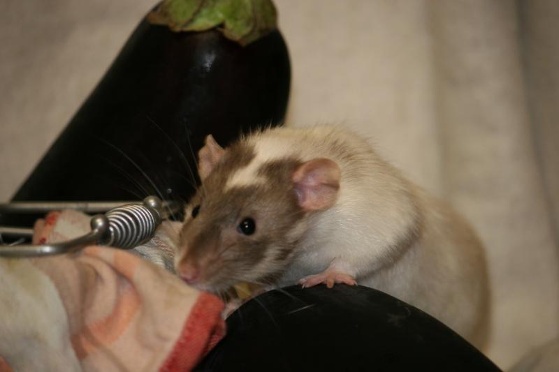 Sauvetage rats mink dumbo Clermont-Ferrand (63) - Page 25 Img_2611