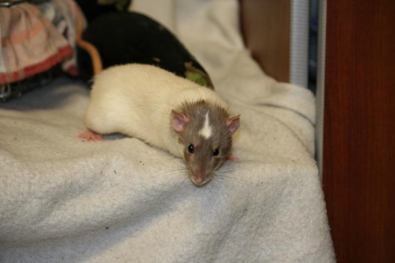 Sauvetage rats mink dumbo Clermont-Ferrand (63) - Page 25 Img_2619
