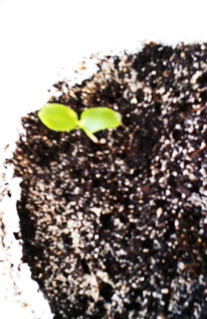 Carica papaya-la culture du papayer Imag0410