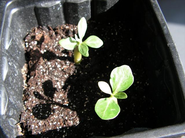 semis d adenium  Pict0623