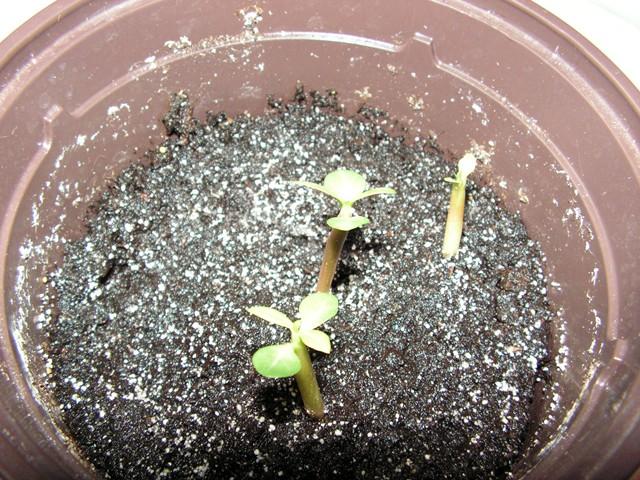 semis d adenium  Pict0630