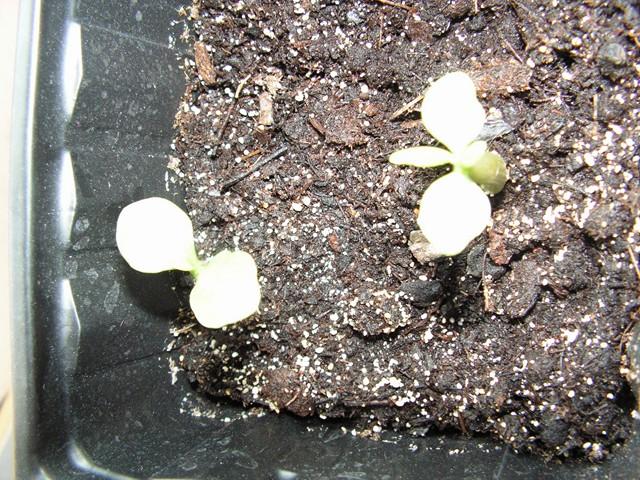 semis d adenium  Pict0713
