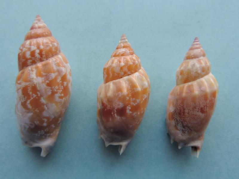 Strombidae Tridentarius dentatus - (Linnaeus, 1758) Dscn1111