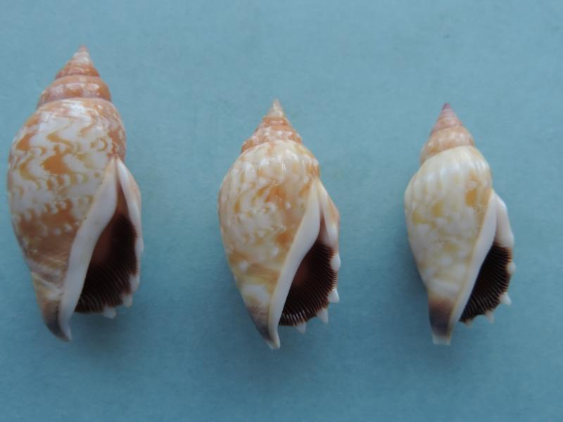 Strombidae Tridentarius dentatus - (Linnaeus, 1758) Dscn1112