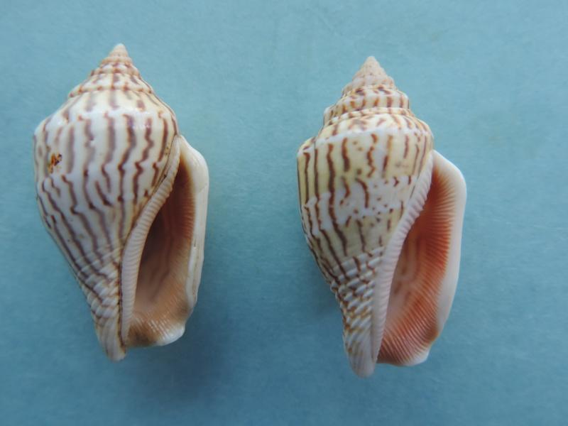 Canarium mutabile zebriolatus - (Adams & Leloup, 1938) Dscn1114