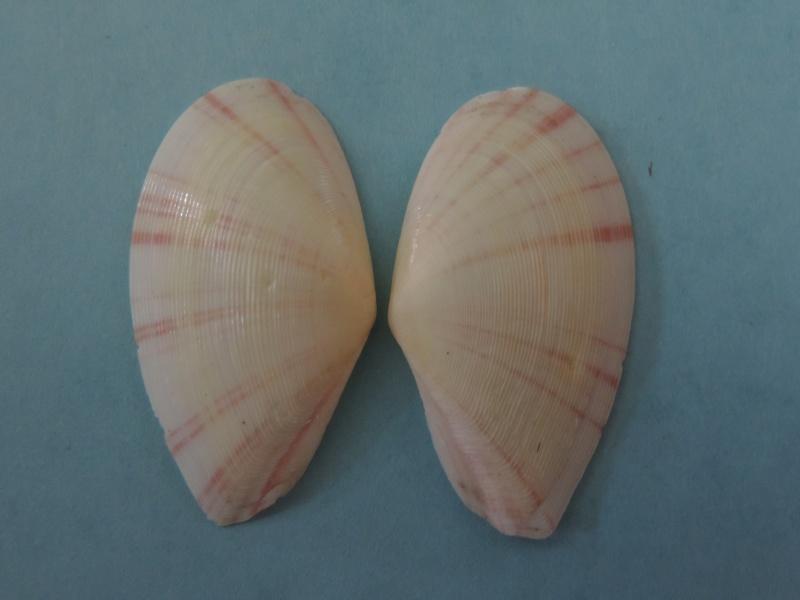 Tellinella cruciata - (Spengler, 1798) Dscn1117