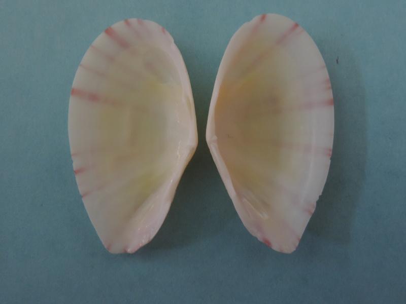 Tellinella cruciata - (Spengler, 1798) Dscn1118