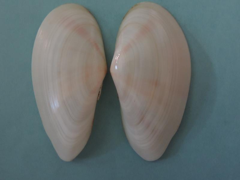Tonganaella perna - (Spengler, 1798) Dscn1120