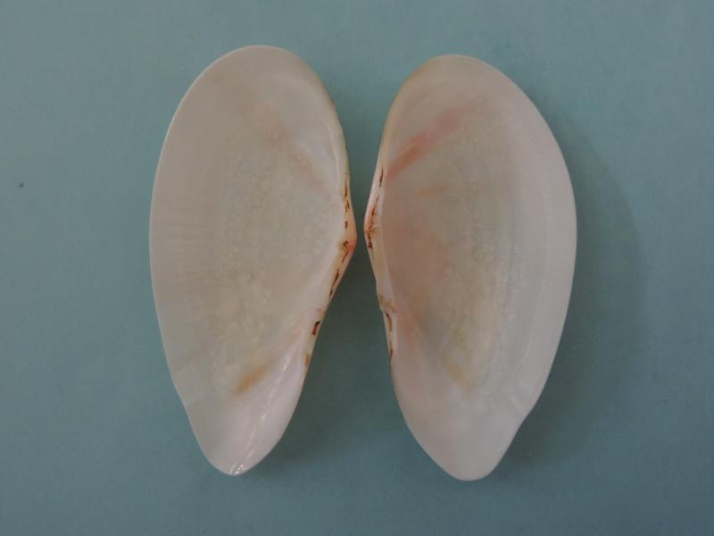 Tonganaella perna - (Spengler, 1798) Dscn1121