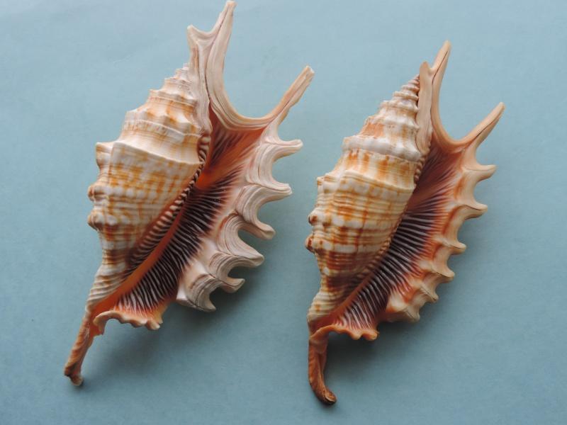 Strombidae Ophioglossolambis digitata - (Perry, 1811)  Dscn1212